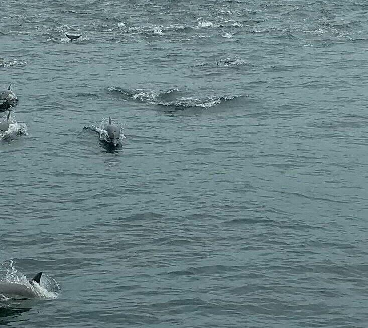 """Une petite bande de dauphins """"Sotalies du Cameroun"""". Photo prise aujourd'hui..."""