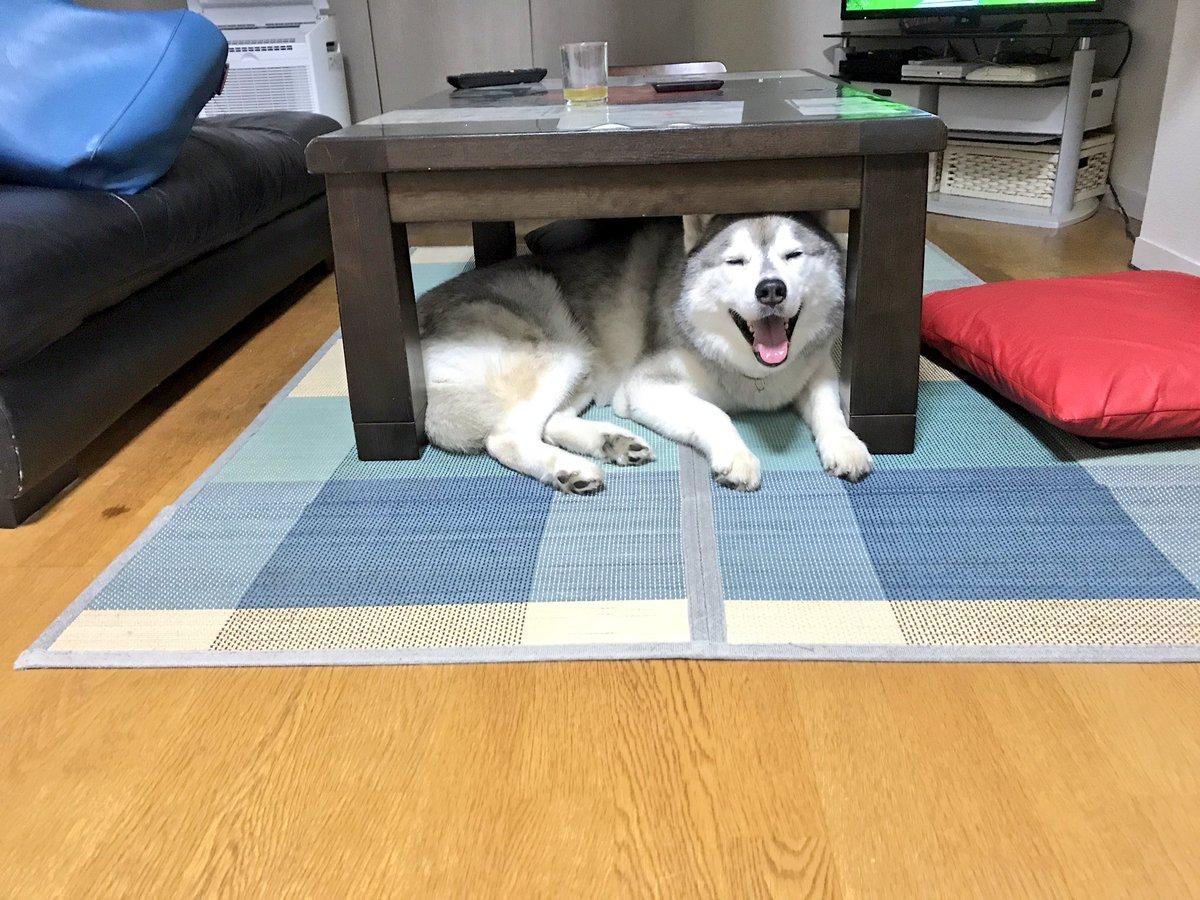 テーブルの下に隠れるシベリアンハスキー