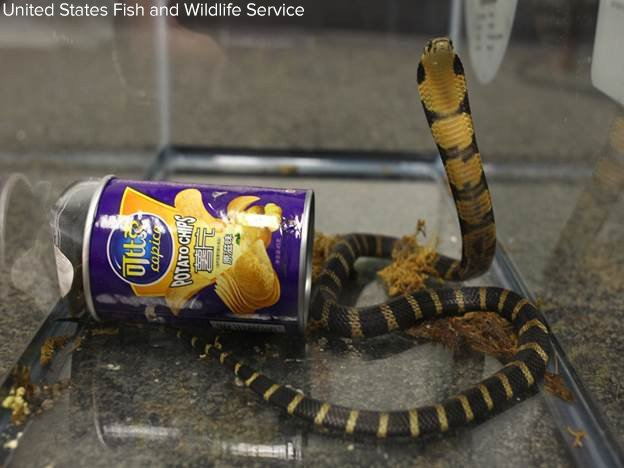 California man arrested on federal smuggling charge after 3 'highly venomous' cobras found in potato chip canisters. https://t.co/7tZSahuaCd