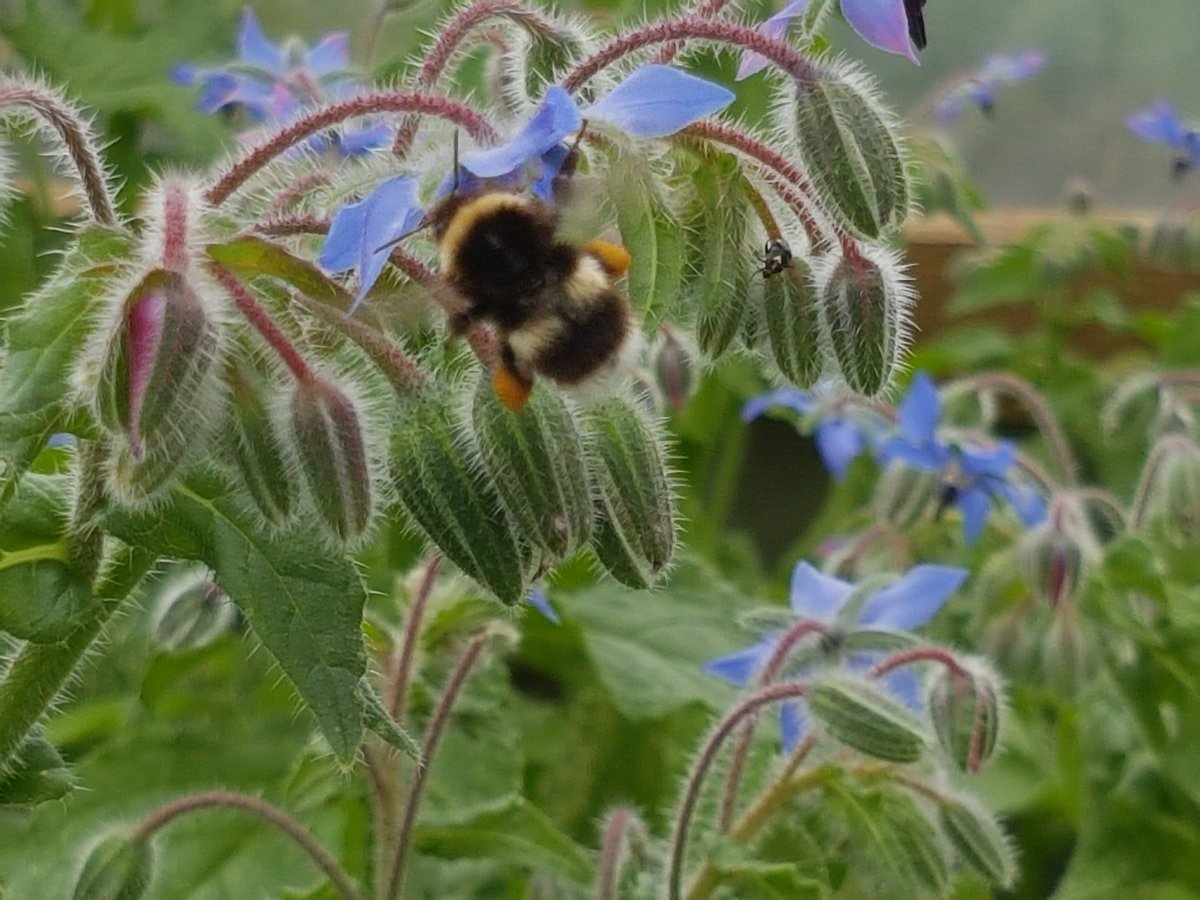 Busy little #bees. Helping @GazegillEP with their #organic #edibleflowers #rawfood #socialenterprise <br>http://pic.twitter.com/dMbfaDJMKI
