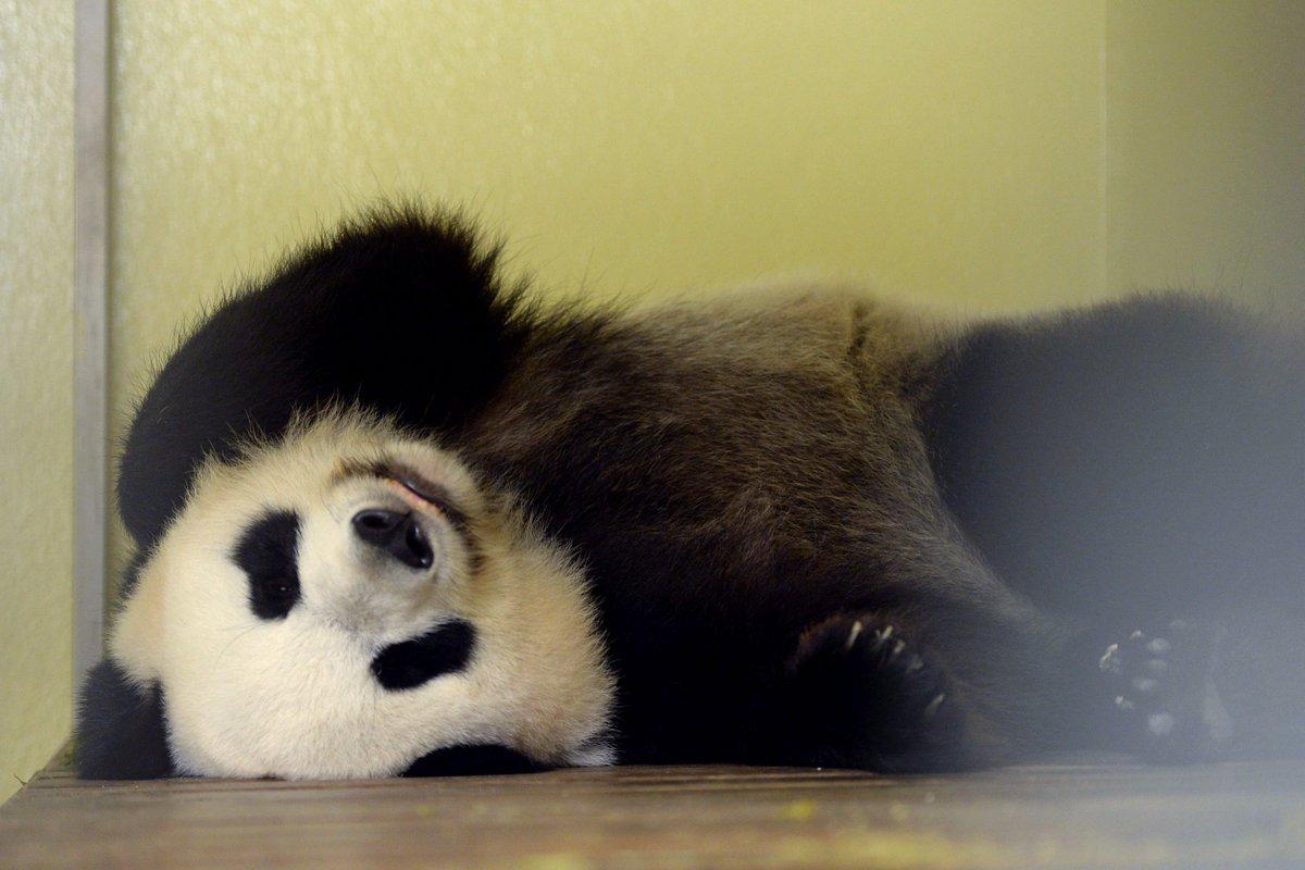 La femelle panda du zoo de Beauval attend un bébé https://t.co/j6kHnGeSq4