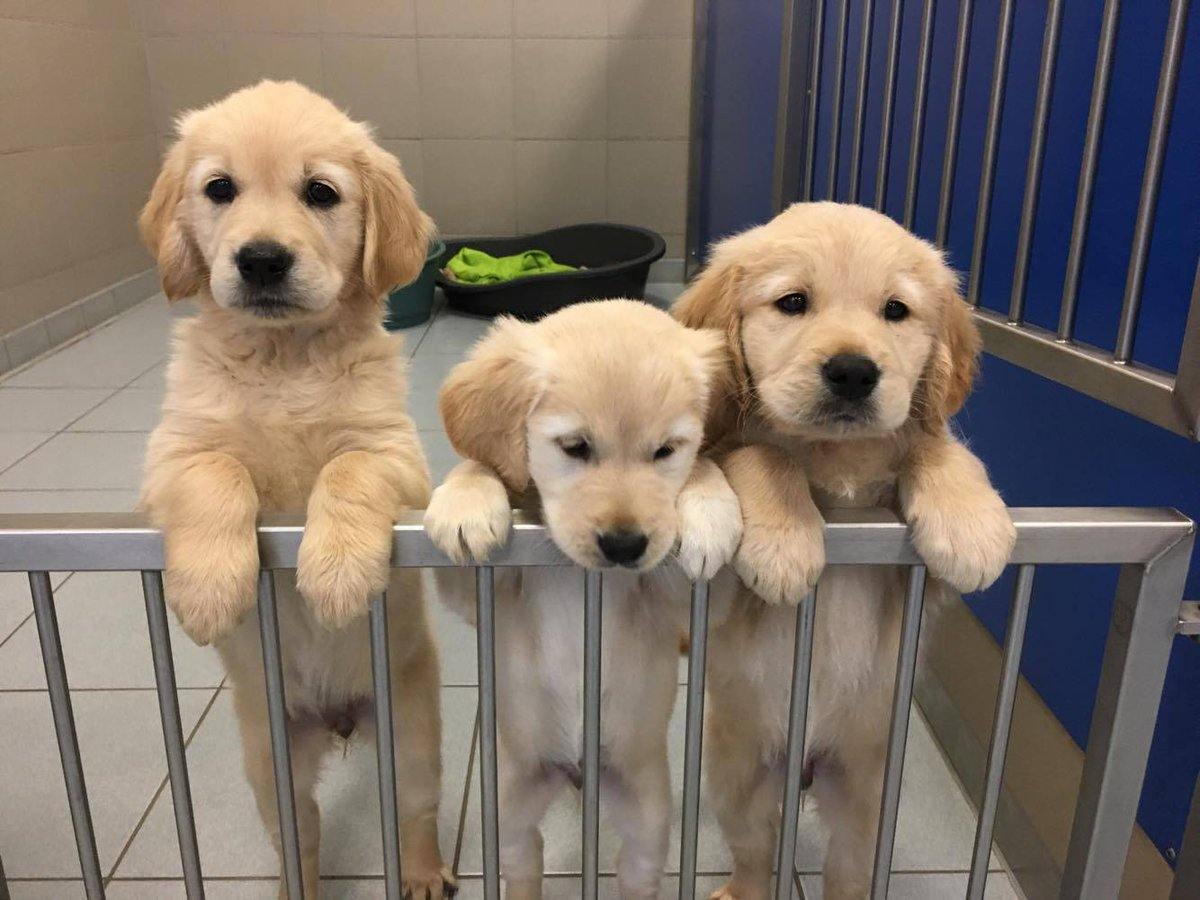 Could you take a @guidedogs #puppy into your home for a year? We need #volunteers in various Scottish locations:   http:// bit.ly/2v4lp38  &nbsp;  <br>http://pic.twitter.com/sF56EKA1JZ