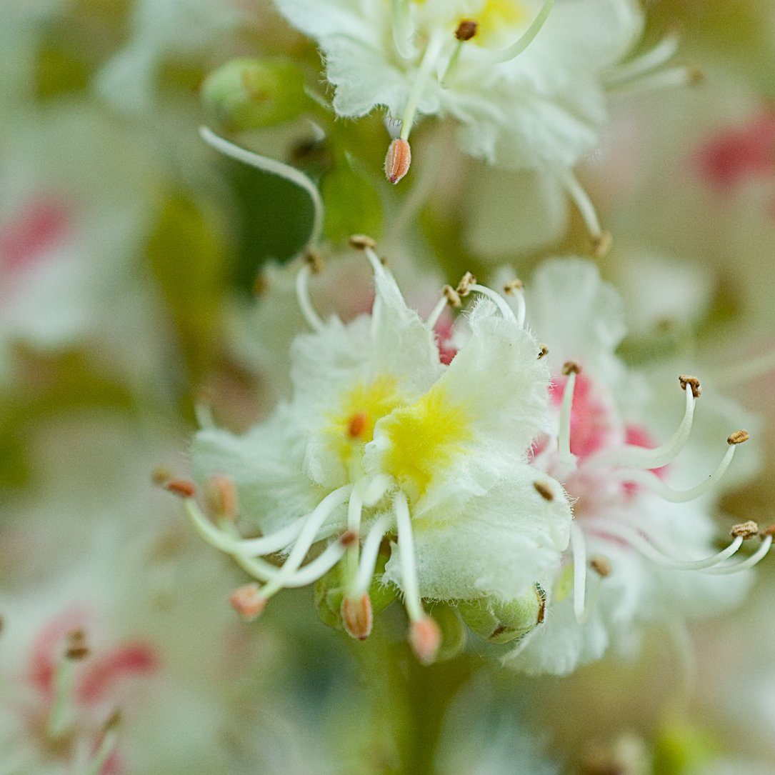 Crystal Herbs On Twitter These Are The Beautiful Whitechestnut