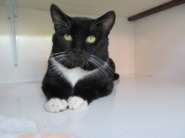We love Felix! Felix likes a fuss and can live with other cats. Would be ok with older kids too.  http:// tinyurl.com/y8znvdmc  &nbsp;   #CatsOfTwitter <br>http://pic.twitter.com/oHNy1p1VO7