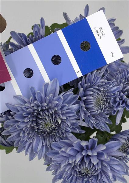 「青い菊」を咲かせることに成功 サントリーなど開発 https://t.co/18LGXvVTsk