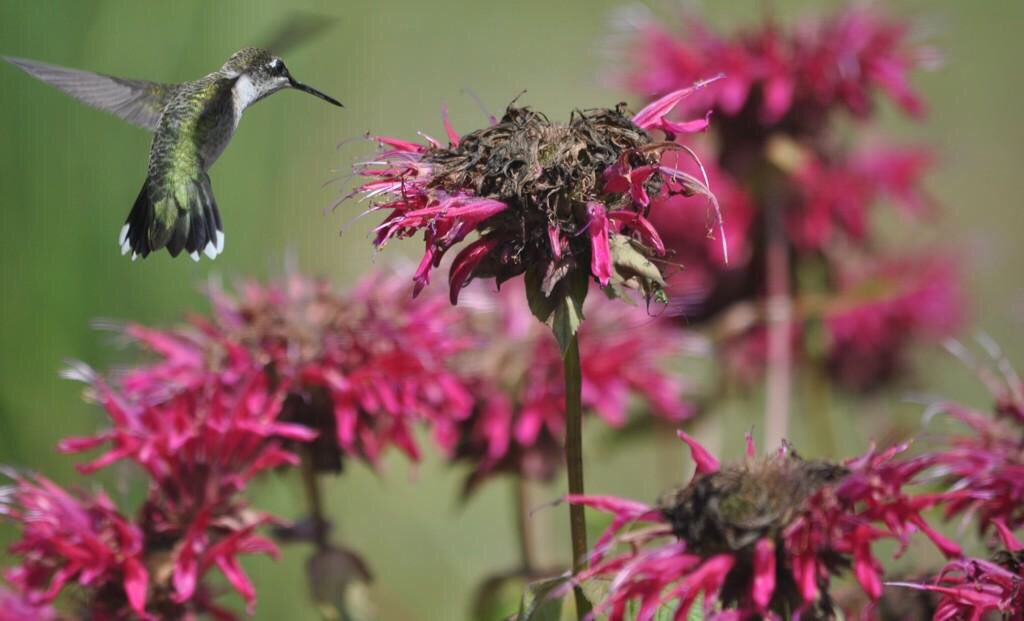 The Bee Balm is fading fast but the hummingbird doesn't seem to mind. https://t.co/H2vuoI6shS