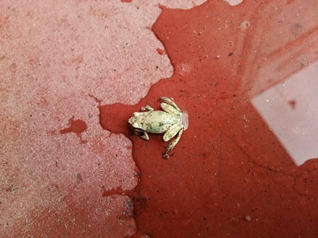 干からびたカエルを救ったのは、一杯のバケツの水www