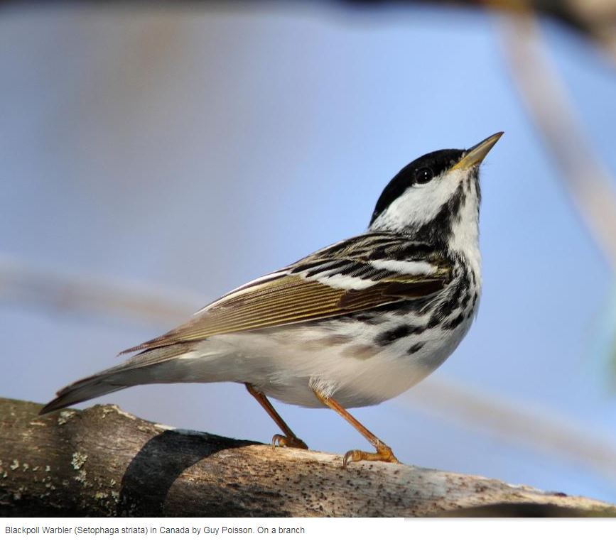 #WCSCanada #scientists Hilary &amp; Lila were part of this exciting #Blackpoll #Warbler project:  http:// ow.ly/GQ4730dXjSn  &nbsp;   @BirdStudiesCan<br>http://pic.twitter.com/7DM5MnRLDe