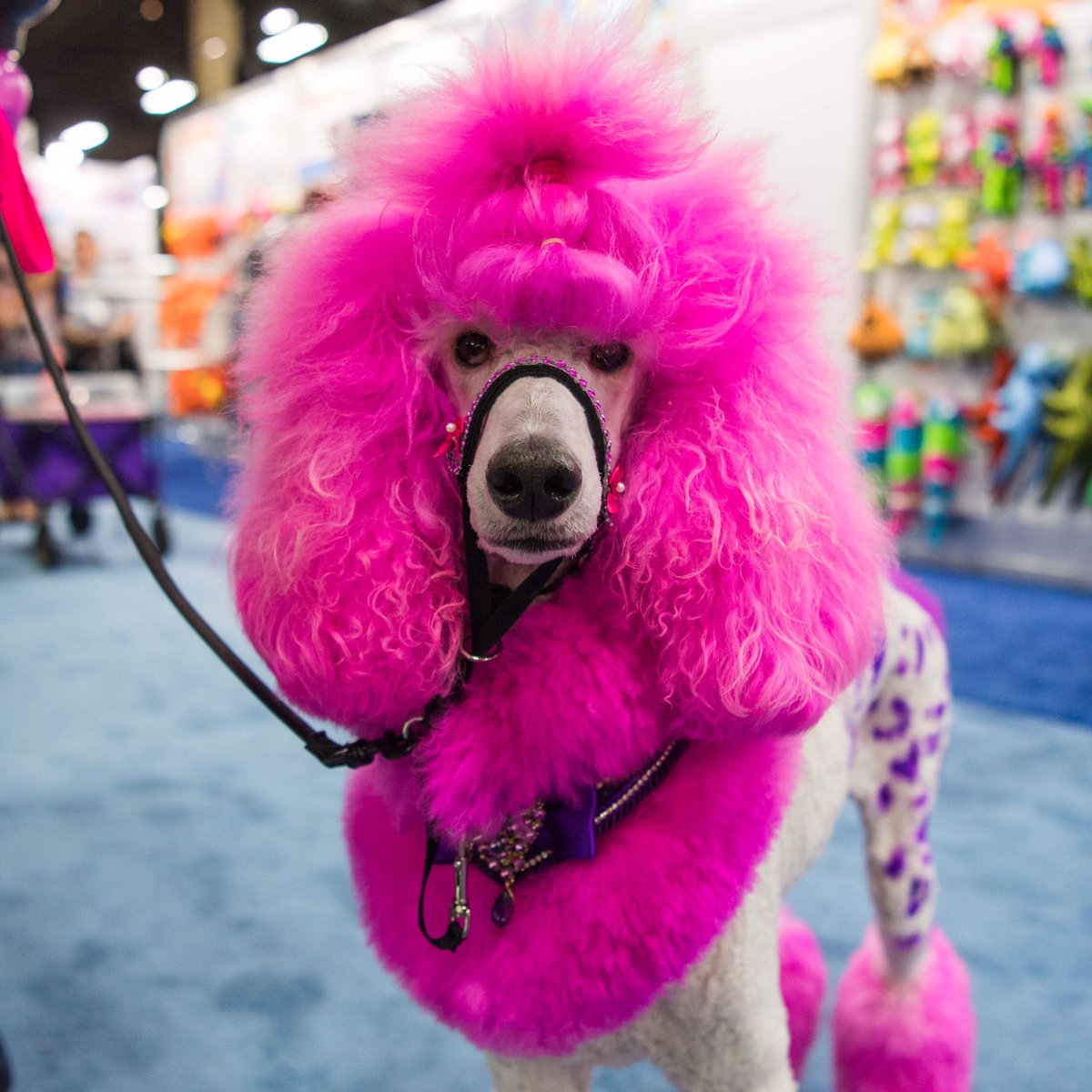 Blue Dyed Standard Poodle The Dogist on T...