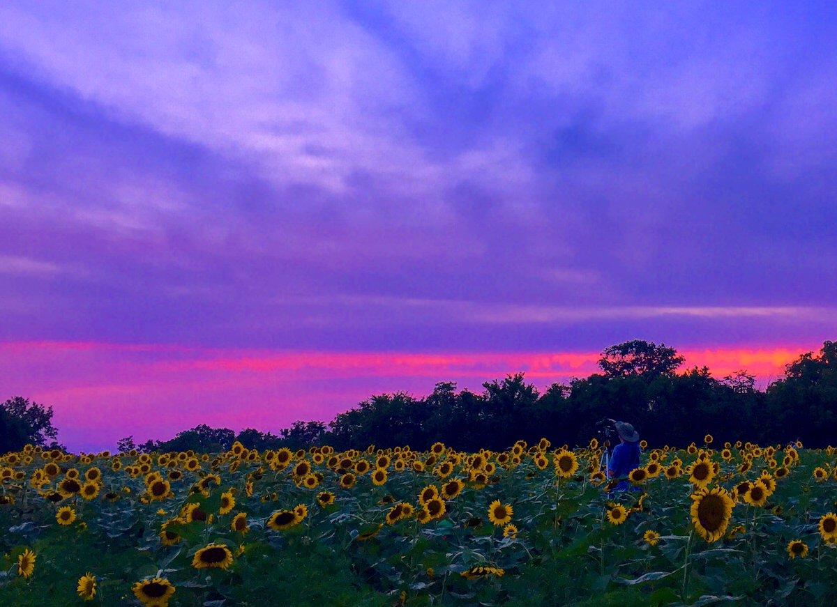 #Sunflowers #sunset at #McKeeBeshers in #Maryland last night 7/26/17 @spann @capitalweather @USDA @mymcmedia @TravelMD @StormHour @yourtake<br>http://pic.twitter.com/3hwBBSQKIC &ndash; bij McKee-Besheers WMA