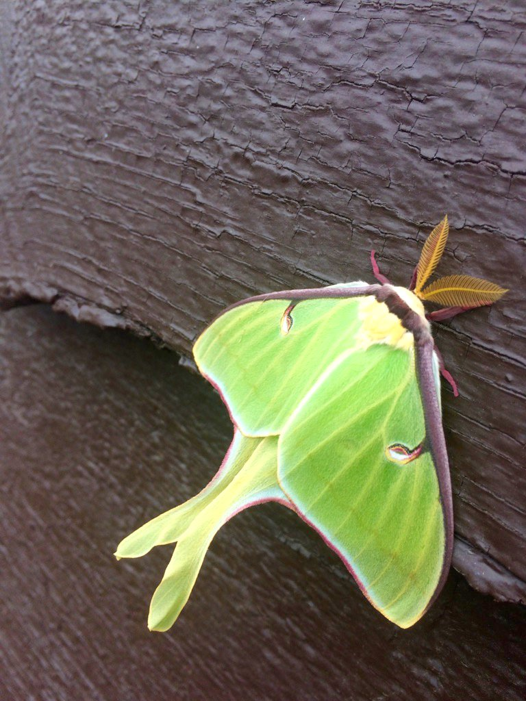 #DYK there are more species of #moths than #butterflies? Luna Moths are flying, and crawling in northern @OntarioParks now #NationalMothWeek<br>http://pic.twitter.com/QLXL7gvne2