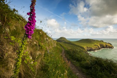 Purple foxgloves brighten the coastal path leading towards the Rumps at Pentire Head, Cornwall.