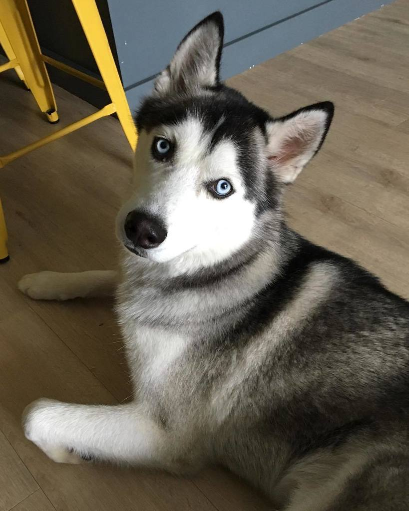 Spent some time today hanging out with my step-granddog, @drag0_0. Today is his &quot;dad&#39;s&quot; birthday. #dogsofinstgram #blueeyes <br>http://pic.twitter.com/ttMVBVIhte