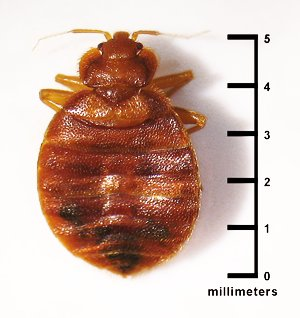 Of bed bugs on mattress