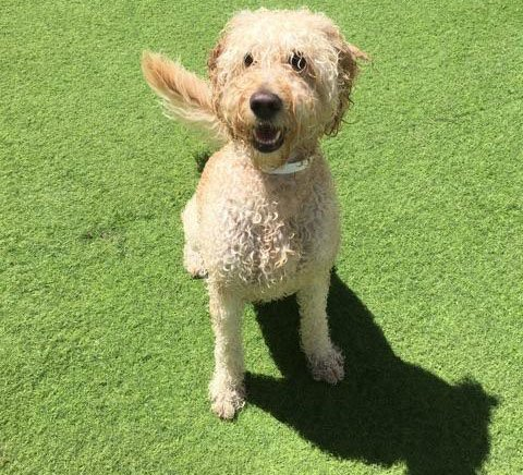 Jersey is all smiles at Doggie Day Camp! #ps #petsuites #jersey #labradoodle #dogsmiles #allsmiles #smiles #oc #orangecounty #alisoviejo<br>http://pic.twitter.com/DcRWEzeSQn