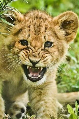 Every #Roar matters.. no matter how small..  #WorldLionDay  #BloodLions #CACH  #HabitatLoss  <br>http://pic.twitter.com/cDgFyvuKMu