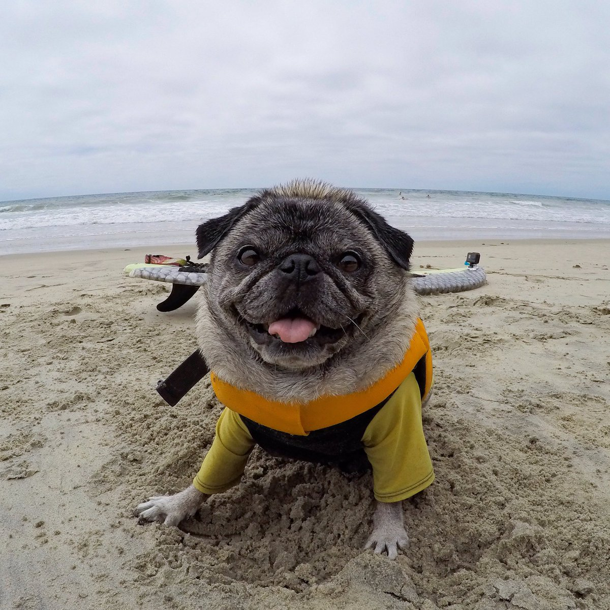 Brandy The Pug On Twitter FREE Cuddles To Anyone Who Votes For - Brandy the award winning surfing pug