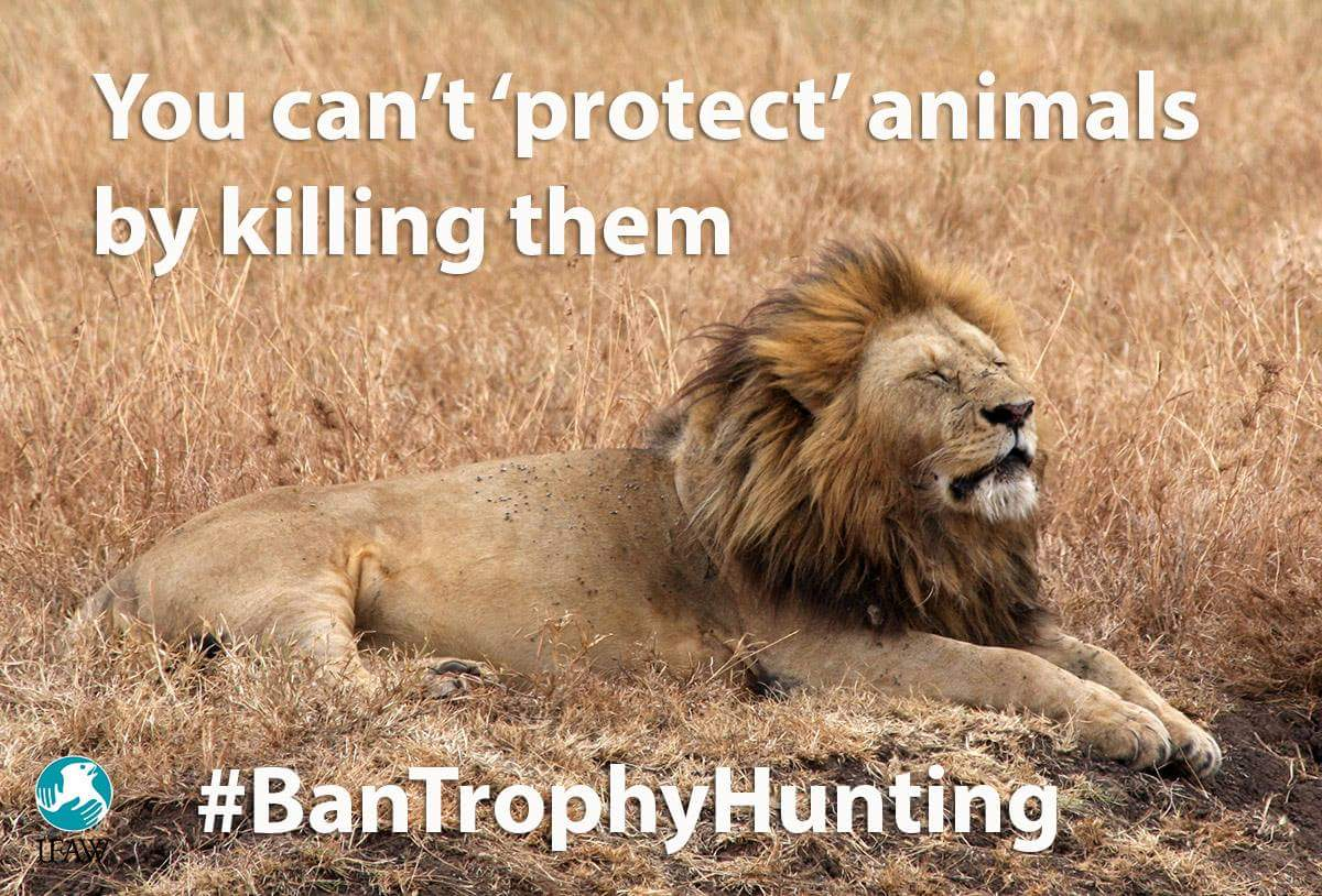 Hunters claim trophy hunting helps CONSERVE lions! Yet numbers are plummeting.. #bantrophyhunting #WorldLionDay