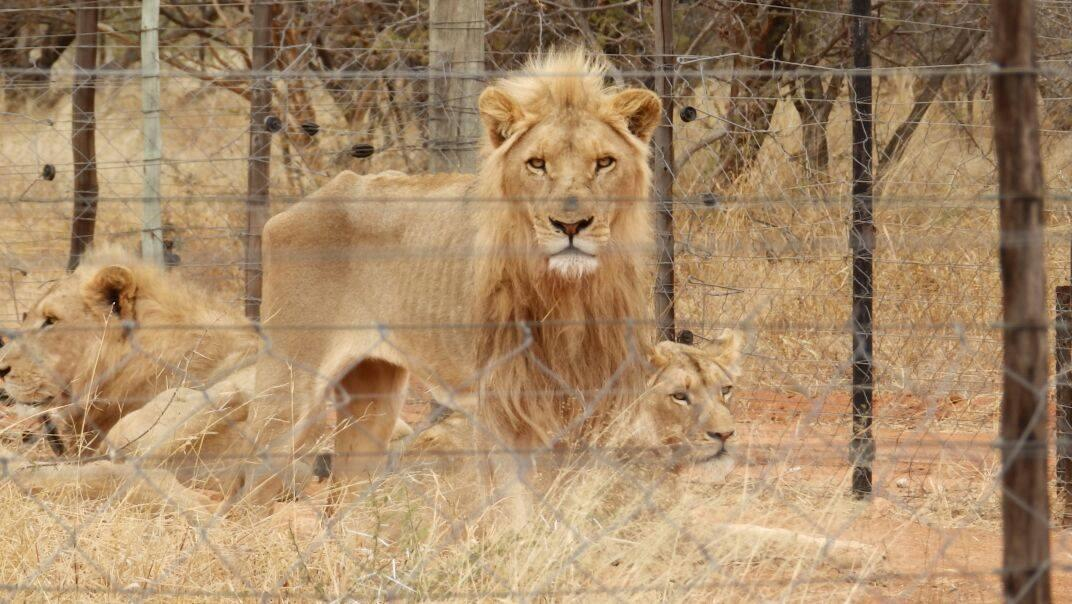 The sick reality of canned hunting - killing defenceless lions for 'sport'. How is this still LEGAL? #WorldLionDay