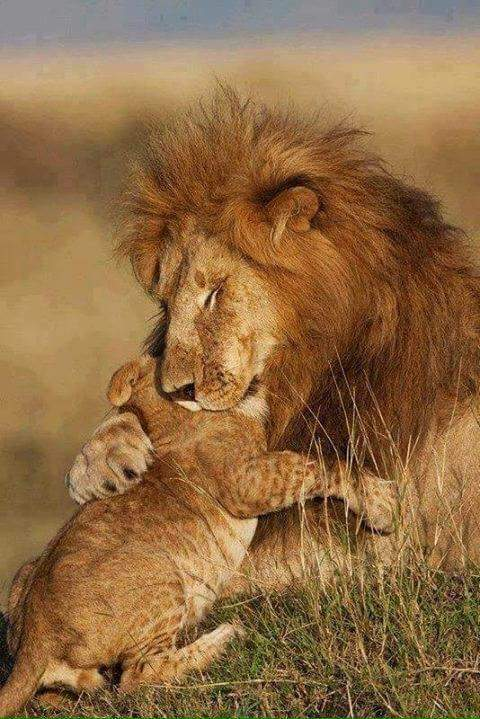 RT if you think THIS is how we should see lions - rather than as a hunter's trophy #WorldLionDay #bantrophyhunting