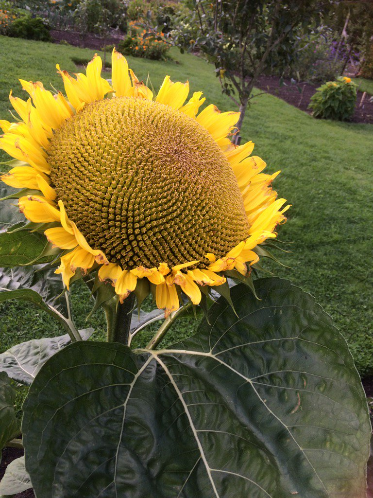 RT @CathHumphrys A perfect sunflower @LoseleyPark gardens #summer
