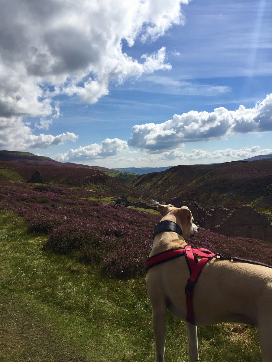 Beautiful weather for seeing the heather and running along #c2c from #gunnerside to #reeth and back via #calver hill @yorkshire_dales<br>http://pic.twitter.com/mDLgc1fiRL