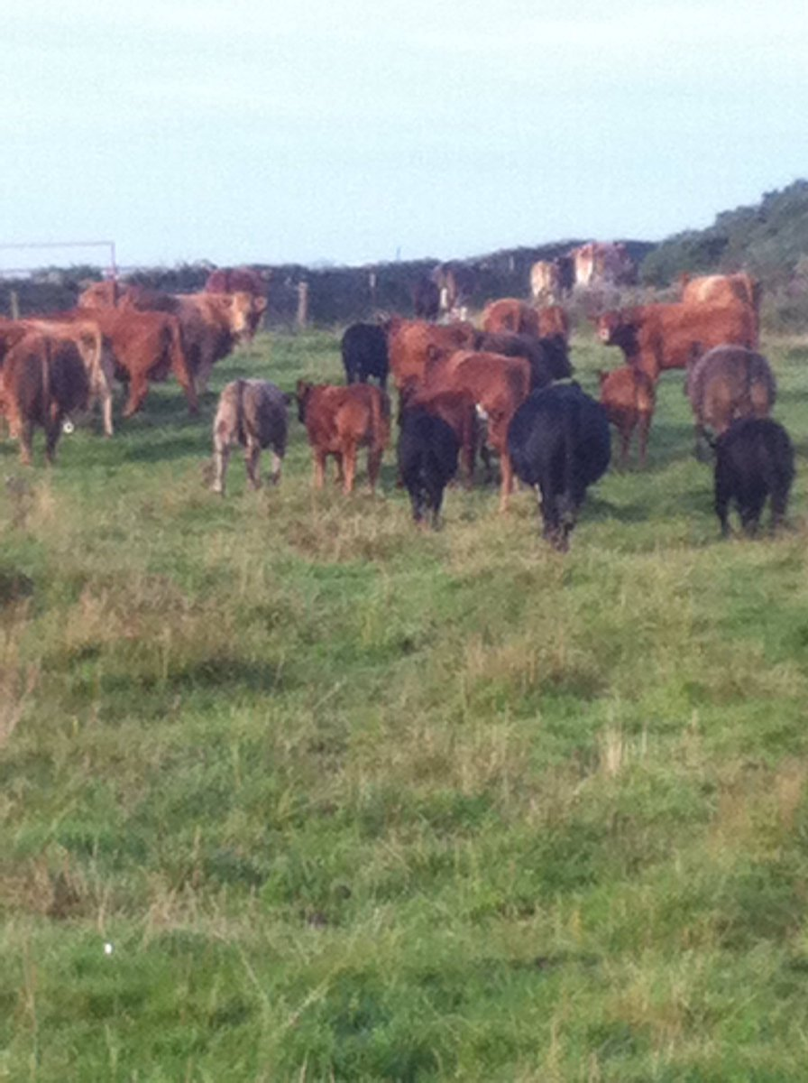 Was a pleasure checking the luing cows a...