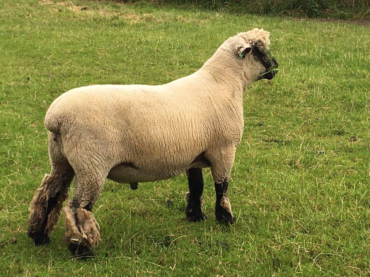 Fine figure of a #ram! #oxforddownsheep #Farm24