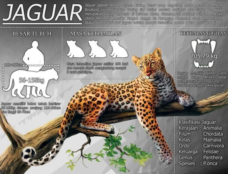 Himpro Satwaliar On Twitter Let S Get To Know Better About The Biggest Feline In America Jaguar