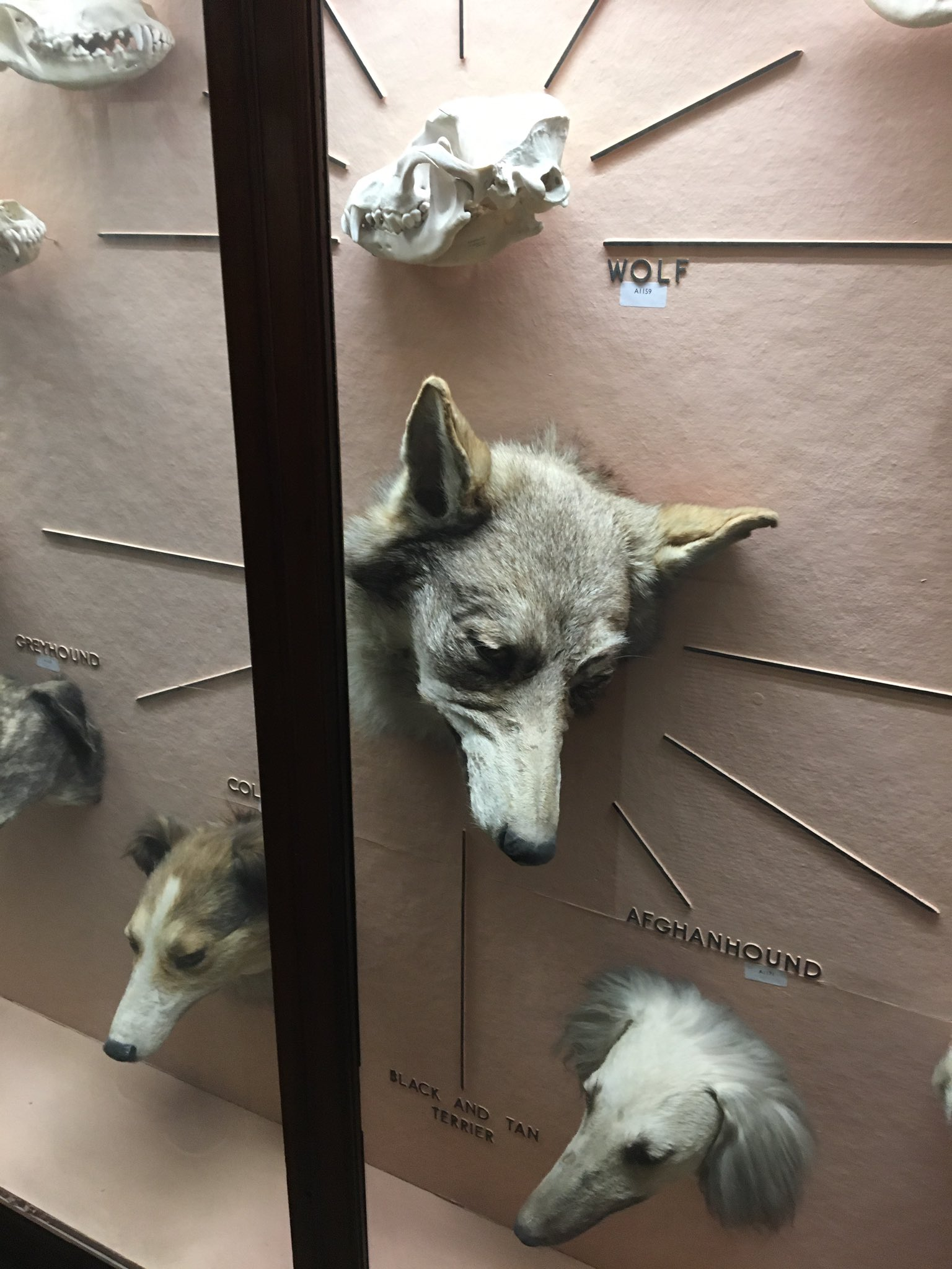 We've found a Direwolf in the Natural History Gallery, a symbol of House Stark. RT if you're House Stark. #Takeoverday #GoT https://t.co/B3lo9VIyDN