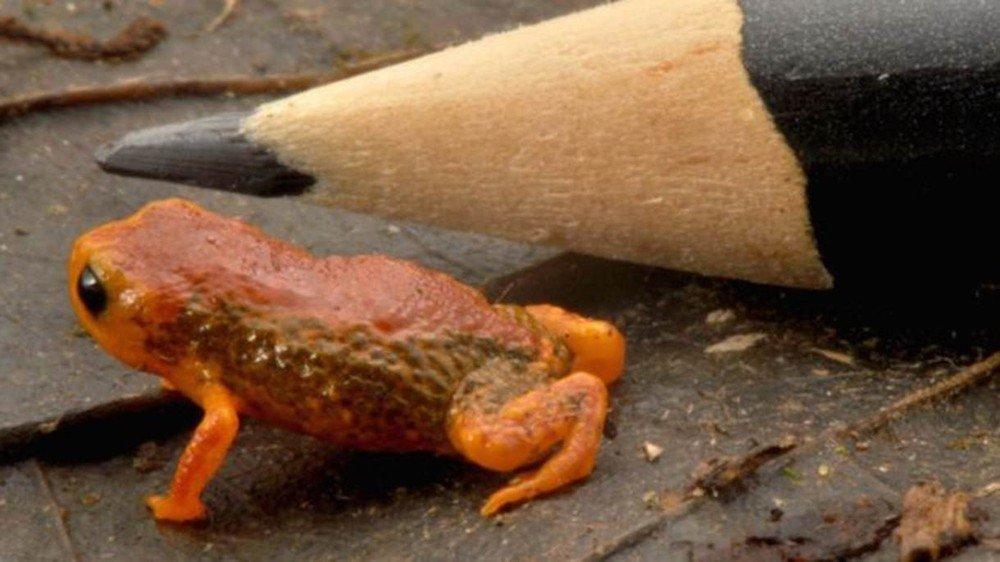 Cientistas descobrem duas novas espécies de sapinhos-da-montanha, os minúsculos anfíbios do sul do Brasil https://t.co/5pPtd5rLhu #G1