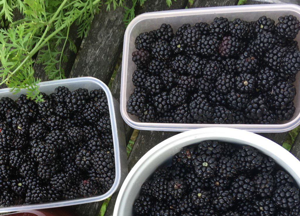 Blackberries. The caviar of fruit. But free. https://t.co/S55u7Eglwl
