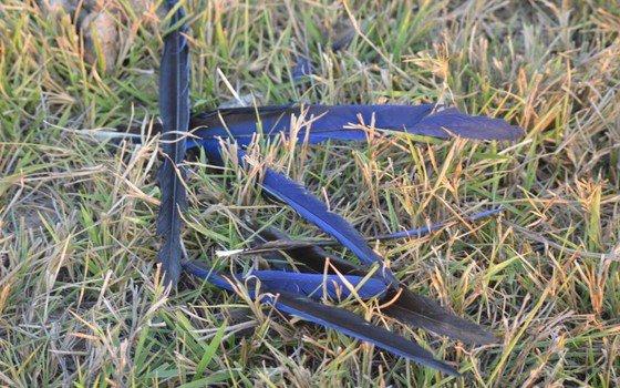 Pesquisadores registram episódio anormal de morte de araras-azuis no Pantanal https://t.co/TTsxkB43bS