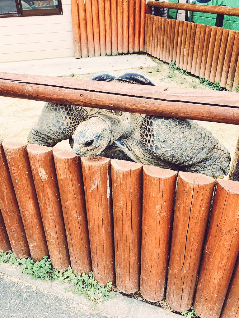 東武動物公園のゾウガメさん 身を乗り出してて、ムキムキした別の生き物に見えた。目がキレイ〜 https://t.co/oNZDJxHooM