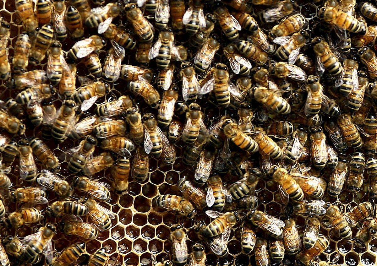 Bees are bouncing back from colony collapse disorder  https://t.co/qXY5Z7O8IG