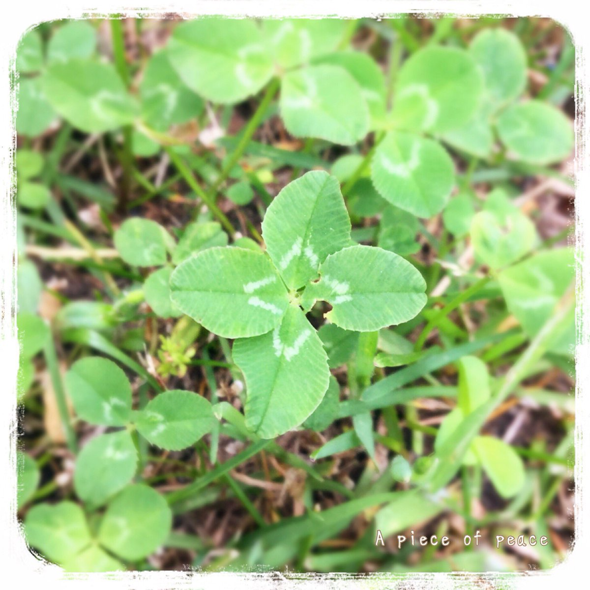 I hope the world is peaceful. #白詰草 #四つ葉のクローバー #fourleafclover #clover #love #NoWar #Peace #pray #평화 #frieden #和平 #平和 #pace #rauha #мир #paix <br>http://pic.twitter.com/CWsKQYW1wO