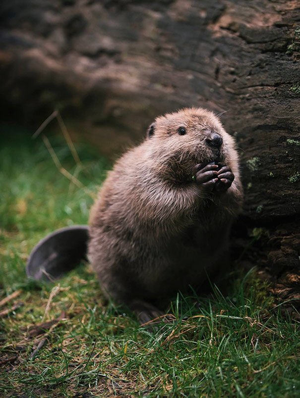 RT @annabel_lea: I like how beavers always look like they're getting ready to share a really good joke https://t.co/LkK3ME7NYh