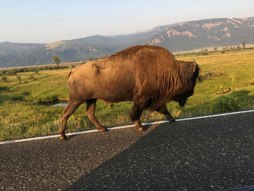 A fellow traveler in Yellowstone early this morning  @spann https://t.co/uihct4fKks
