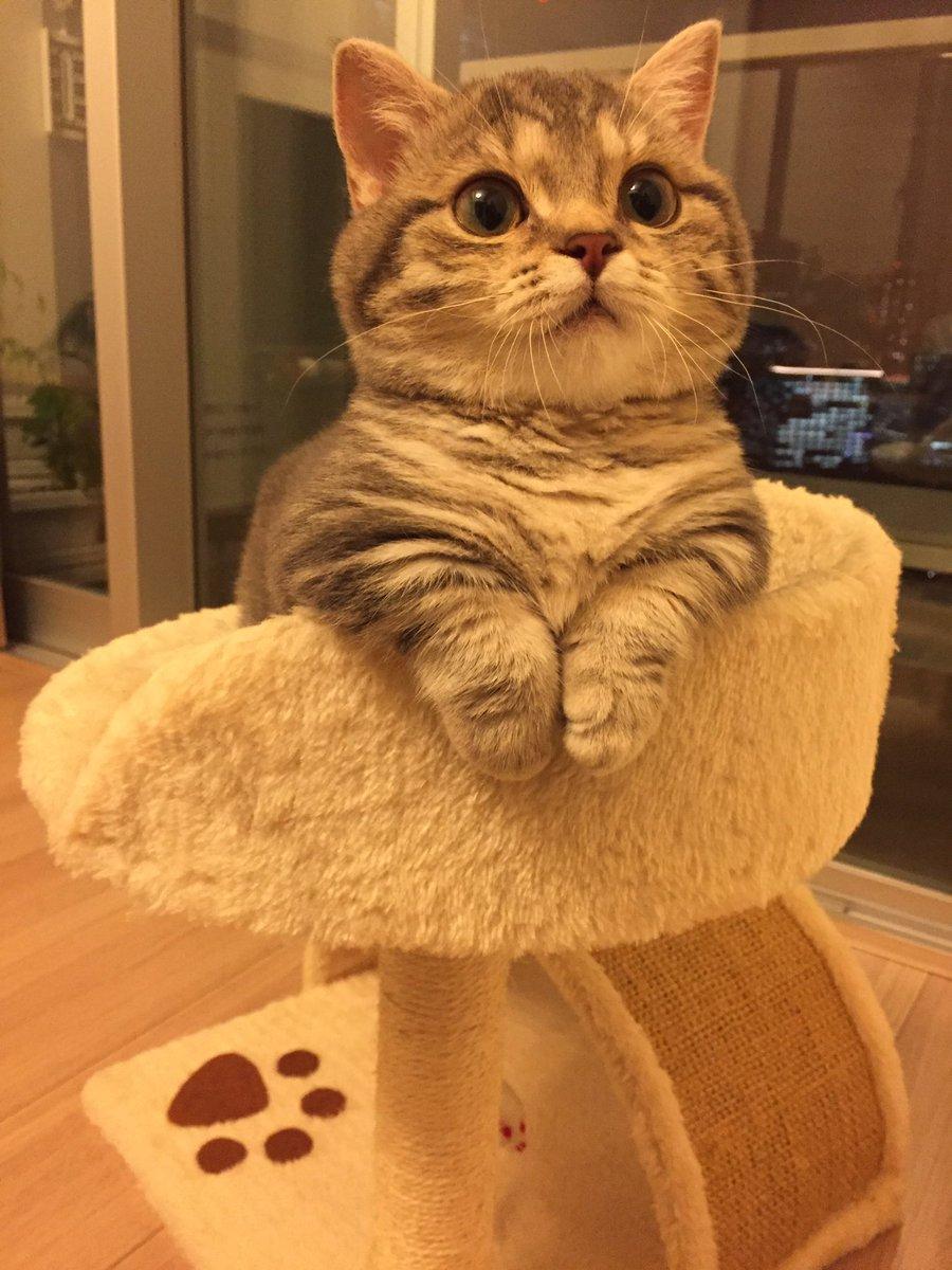 よもぎさん、 モッフモフのムッチムチ♡ マンチカン 猫 ねこ ネコ 子猫 cat 猫部 短足 猫モフー  猫好きさんと繋がりたいpic.twitter.com/ZCrDjMwedP