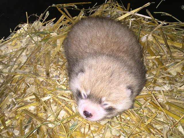 Move over, Fiona: @CincinnatiZoo welcomes baby red panda! https://t.co/oivESYkwPi #Swoon 😍😍😍