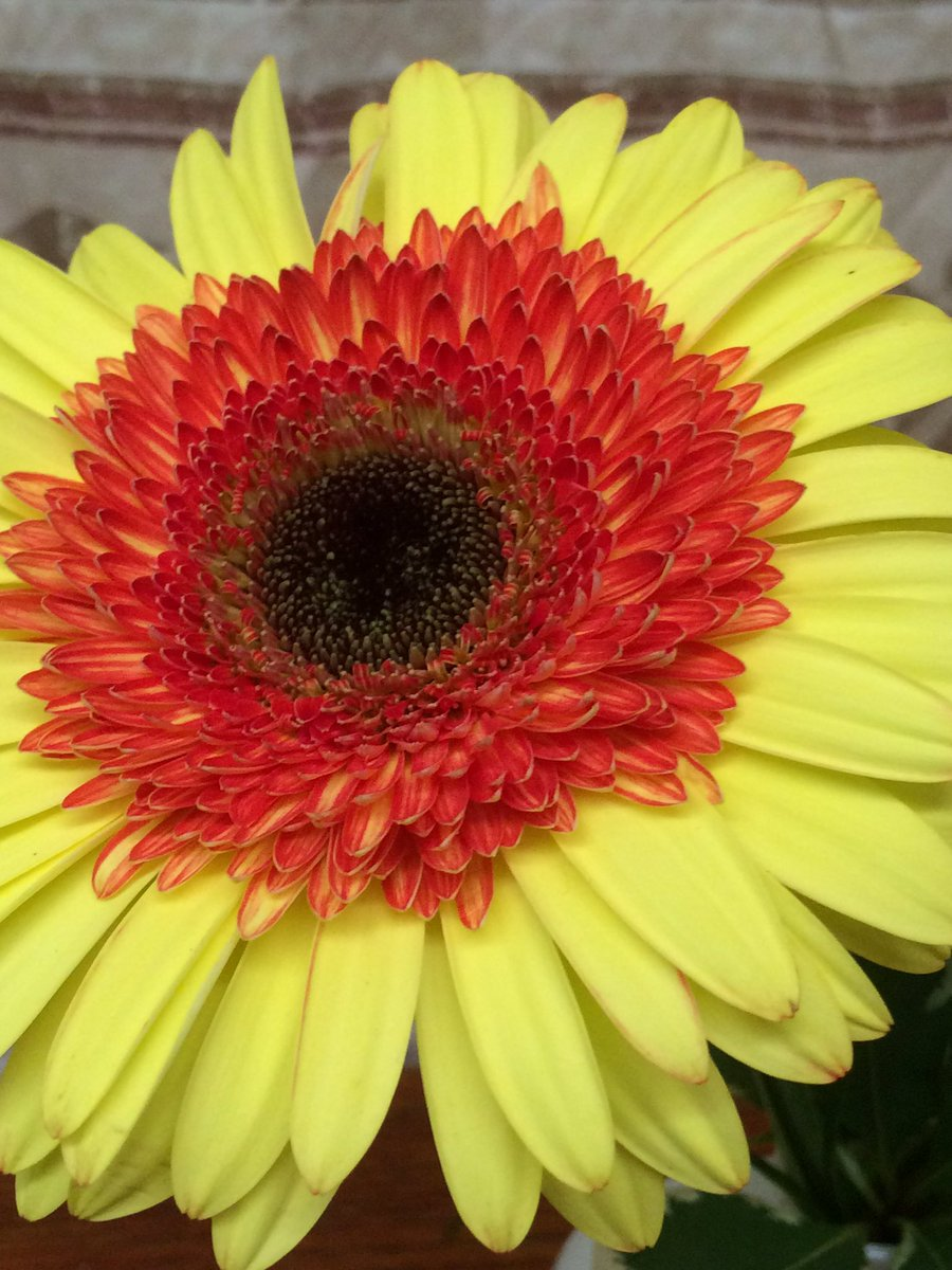 Frances flower shop on twitter a gerbera daisy to make you smile frances flower shop on twitter a gerbera daisy to make you smile flowers makesomeonesmile httpsthneapampua izmirmasajfo