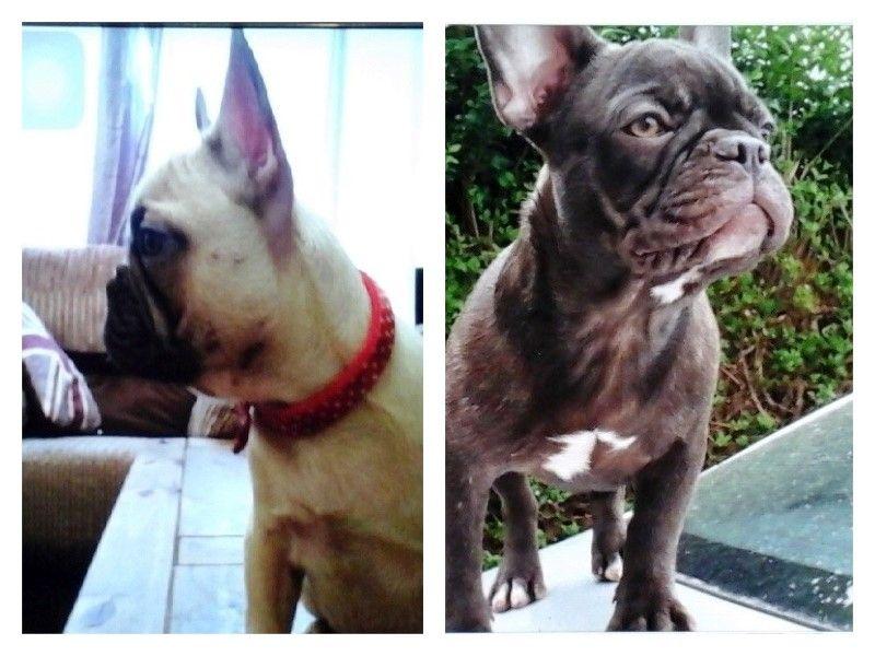 Help us locate stolen French Bulldogs Taffy and Honey https://t.co/pT7XiM7i5K https://t.co/A6Kbk6omXB