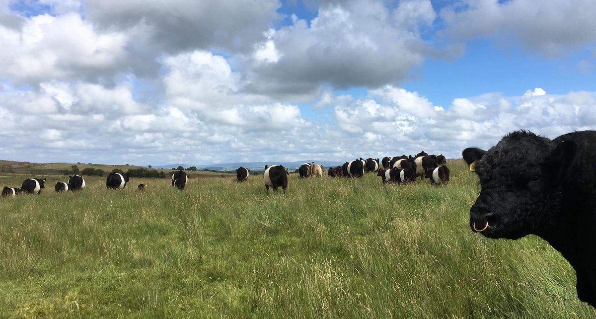 A gorgeous day #cowsoftwitter #sunshine #beltedgalloway