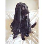 綺麗すぎ!黒い犬にウィッグを被せたらモデルみたいになった