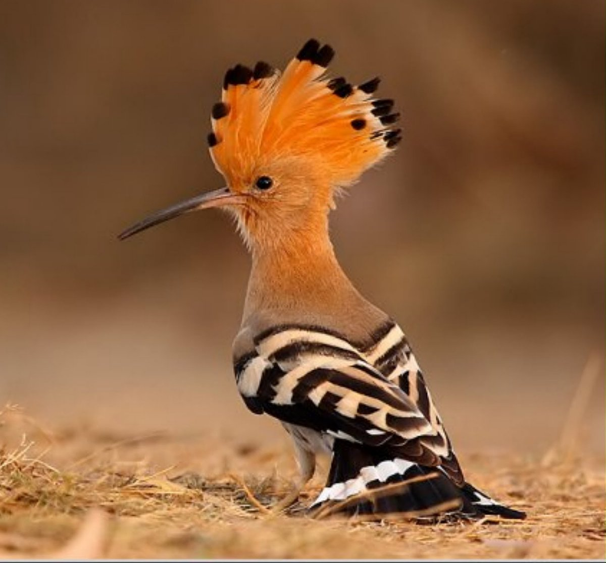 "everybird reruns on Twitter: ""BIRD #5,249 African Hoopoe (Upupa ..."