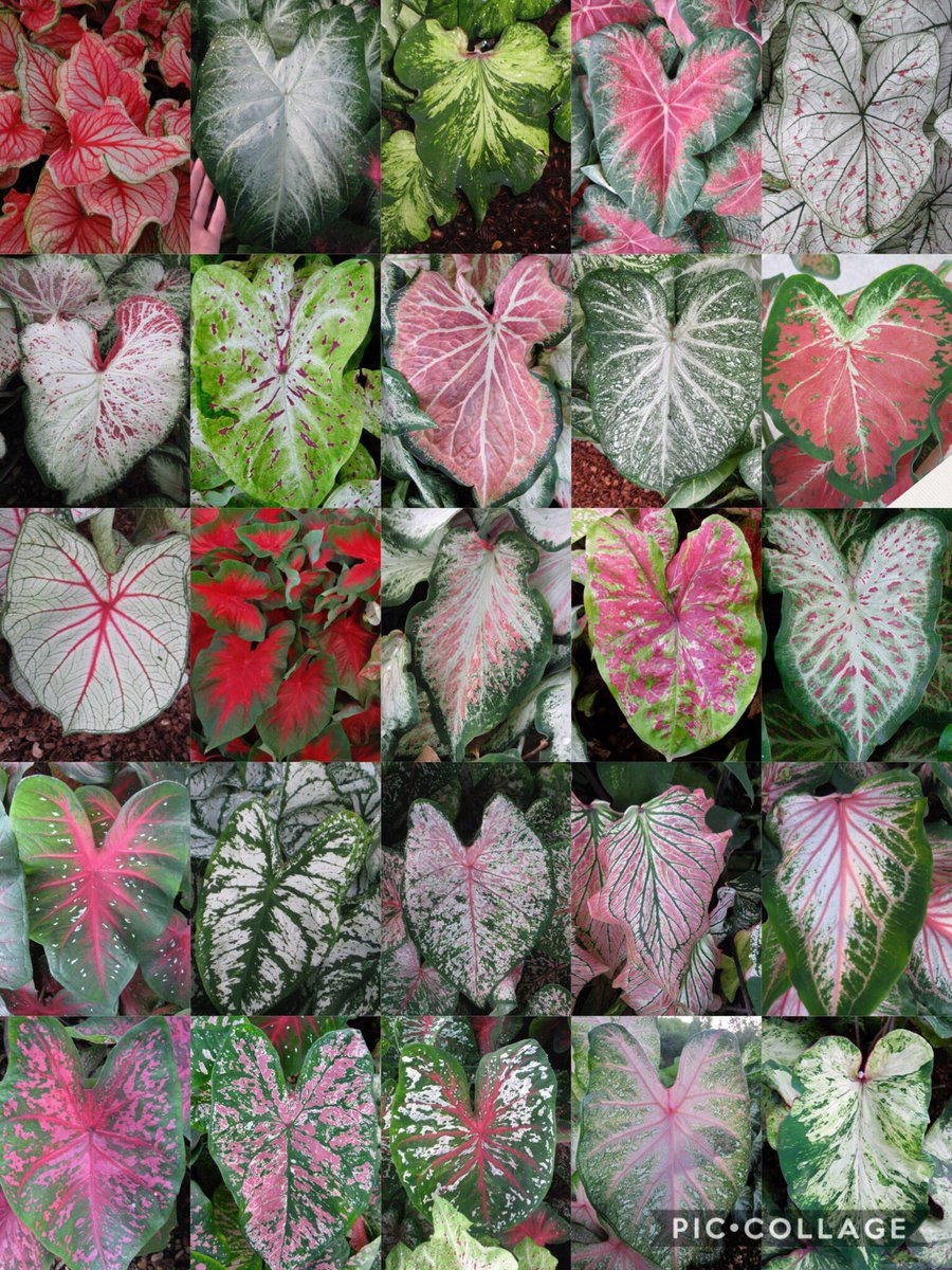 Jimmy Turner On Twitter Raspberry Moon Caladiums Feature A Vibrant Light Green Background And Smaller Splotches Of Dark Around Prominent