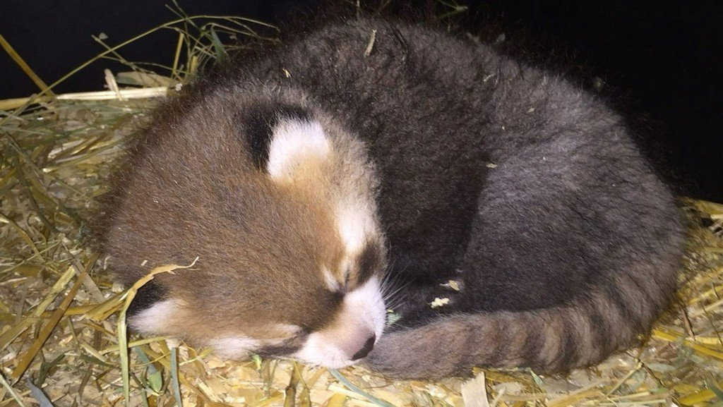 Wdsu On Twitter Too Cute Baby Red Panda Born At Ohio Zoo Https T Co Taumesasl7