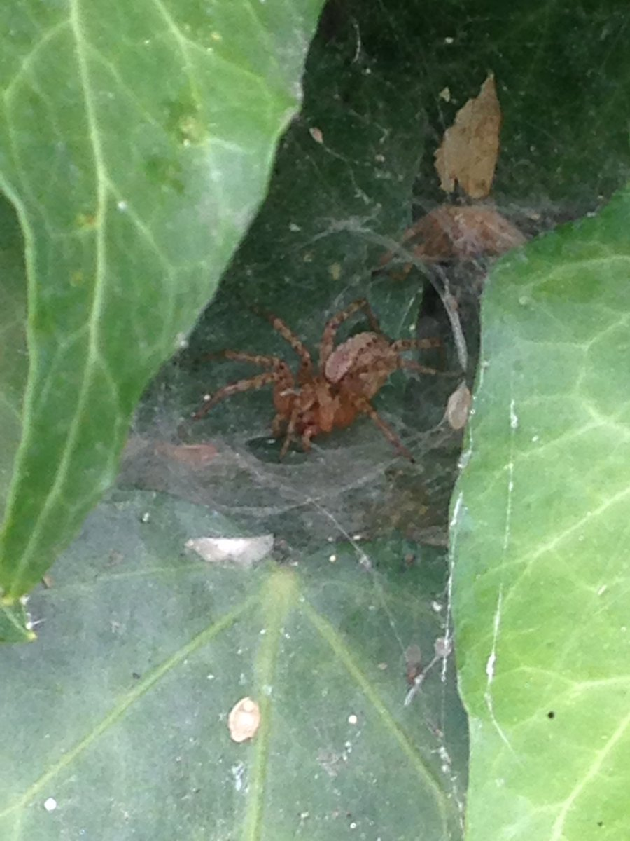 Hello pretty spider I just discovered in my garden! How are you? #ScienceSunday #science #spider #arachnology #spiders #usofscience #scicomm<br>http://pic.twitter.com/NShvDS5uHb