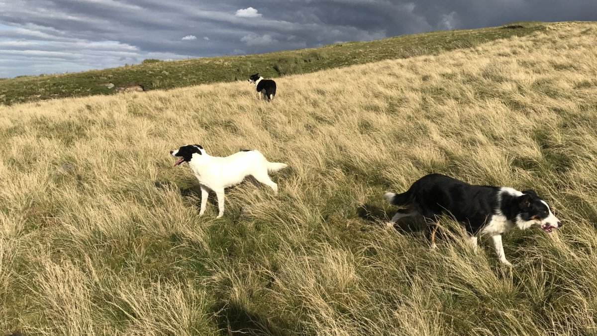 Where's the sheep? #cantseeany #sheepdog...