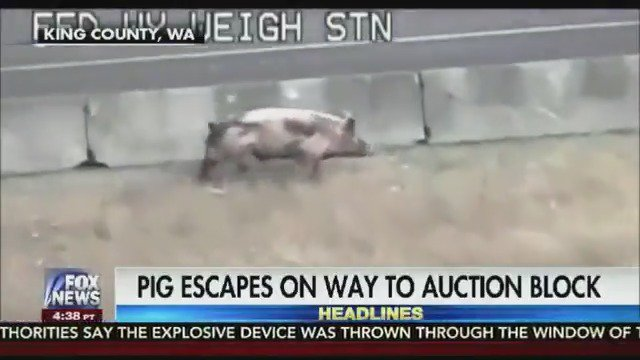 Giant hog's great escape from slaughter house in Washington State https://t.co/hvHwHCeY5Q